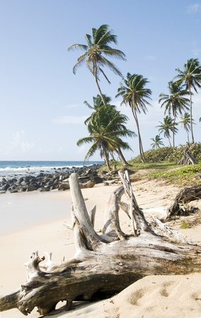 driftwood coconut palm trees undeveloped beach Content Point South End Corn Island Nicaragua Caribbean Sea Stock Photo - 12410906