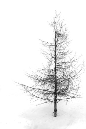 Isolated tree at a white background photo