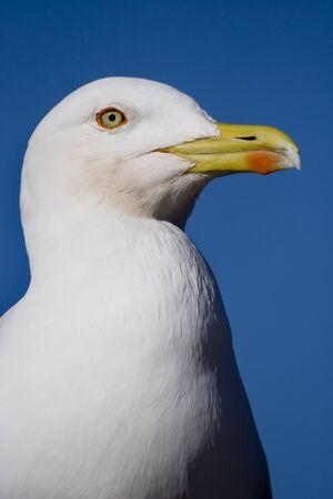 detail of a seagull head