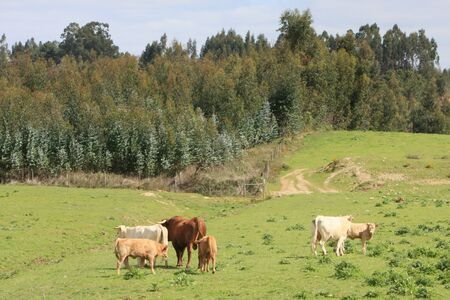 brown cows at a green field