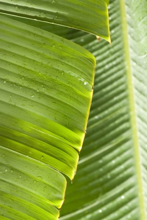 fresh green banana leaf, can be used for background Stock Photo - 4338953