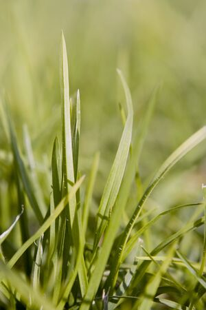 Healthy and fresh green grass Stock Photo - 4349653