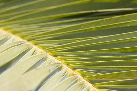 Detail tropical palm tree leaf, shallow DOF Stock Photo - 4388268
