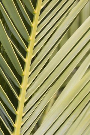 Detail tropical palm tree leaf Stock Photo - 4388272
