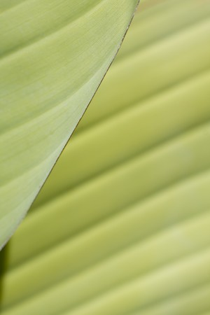 fresh green banana leaf, can be used for background