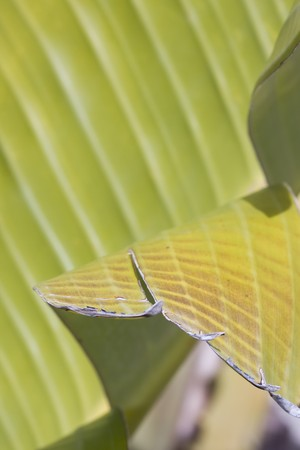 fresh green banana leaf, can be used for background (shallow DOF) Stock Photo - 4388241