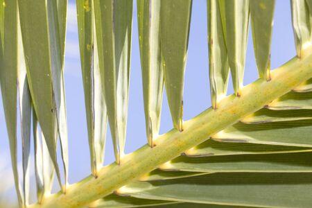 Detail tropical palm tree leaf