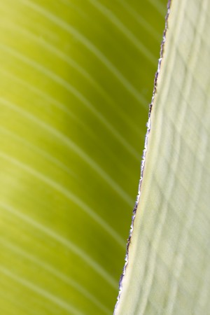 fresh green banana leaf, can be used for background Stock Photo - 4406595