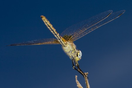 backside view of a dragonfly on a stick Stock Photo