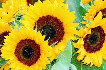 beautiful yellow Sunflower petals closeup Stock Photo - 4440640