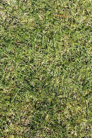 Green grass texture on a golf course, seamless background