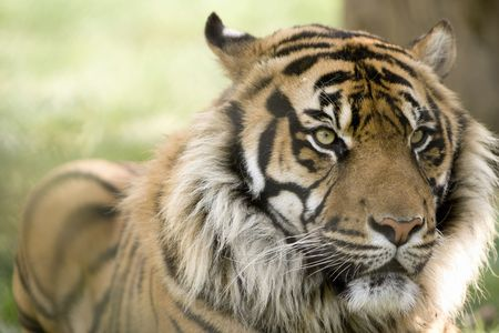 A beautiful male tiger head portrait with alert expression in the face (Panthera tigris altaica) photo