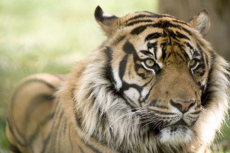 panthera tigris: Retrato con expresi�n alerta de la cabeza de un tigre macho hermoso en la cara (Panthera tigris altaica)