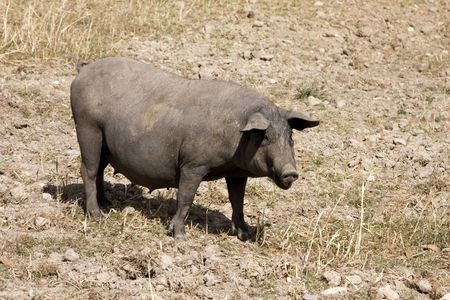 Black pig in the farmland (rural area at south of Portugal) Stock Photo