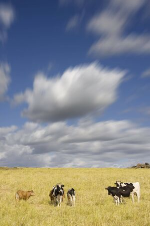Group of cows in the farm field (rural area at Portugal)