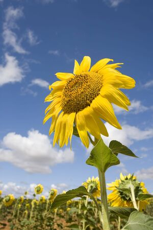 Bright yellow flower of a sunflower at a farm on a background of cloudy blue sky in a sunny day (summer season). Close up