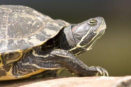 Portrait of Red Eared Turtle (Trachemys scripta elegans) at wildlife. Focus on eyes