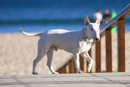 black and white pit bull: White Staffordshire Bull Terrier standing on a beach board walk Stock Photo