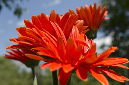 Macro stock photo of orange Gerbera daises, also known as African daises, against a natural backdrop of blue sky and green trees and bushes  This photo shoes the daises from the side