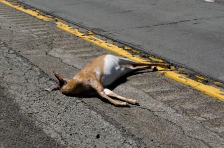 사슴 그것은 노란색 라인의 왼쪽에 누워 일부 지역에서 피부와 힘줄을 노출했다 뉴욕 주에있는 고속도로 (86)의 왼쪽 어깨에 죽은 사슴은 사슴에 대한  스톡 콘텐츠