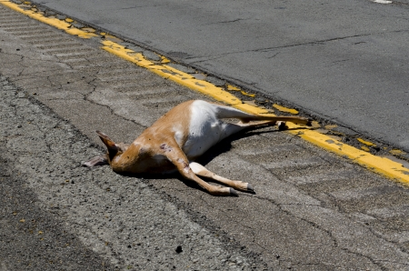 A dead deer on the left shoulder of Interstate 86 in New York State  The deer has exposed skin and tendons in some areas  It is lying to the left of the yellow line  There are some flies on the deer