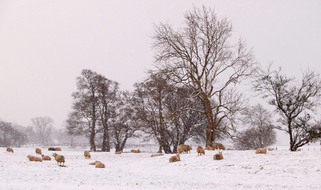 unspoilt: English Lakeland sheep weathering a winter snow storm. Stock Photo