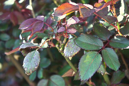 Rose Leaves in Spring Reklamní fotografie - 91795124