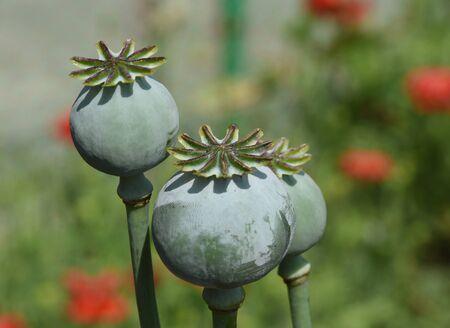 Opium flower buds or capsules containing poppy seeds. Foto de archivo