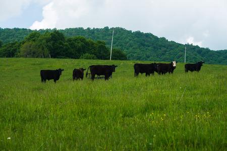 Black Cows In A Field In Burkes Garden ,VA Stock Photo, Picture And ...