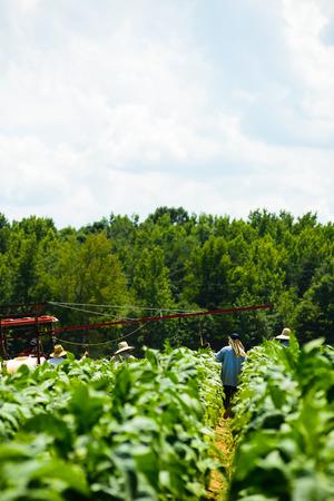 Migrant men tending tobacco crop in Pittsylvania County,Virginia. Stock fotó