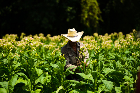 Migrant men tending tobacco crop in Pittsylvania County, Virginia.