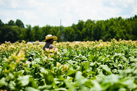 Migrant men tending tobacco crop in Pittsylvania County Virginia. Stock fotó