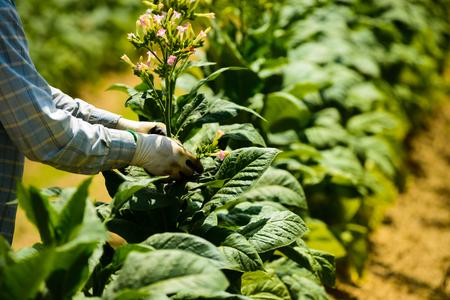 Migrant men tending tobacco crop in Pittsylvani County , Virginia.