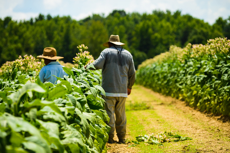 Migrant men tending tobacco crop in Pittsylvani County , Virginia.