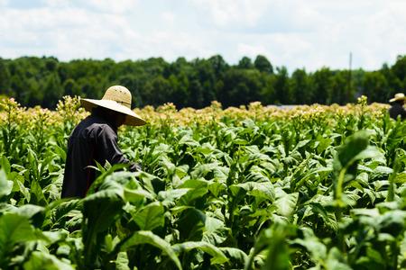 Men tending tobacco crop in Pittsylvania County , Virginia. Stock fotó