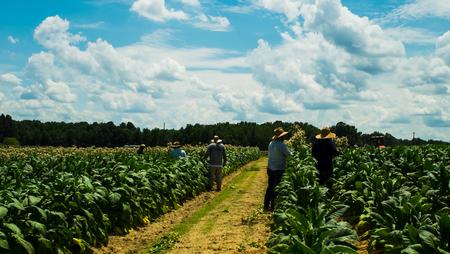 Migrant men tending tobacco crop in Pittsylvani County , Virginia. Reklamní fotografie - 104593768