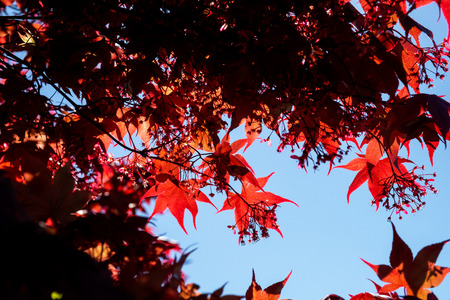 Blue sky peeking through back lit red maple leaves.