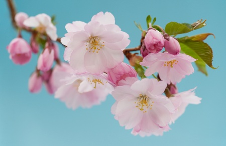 Branch of Japanese cherry with blossom against bright blue sky photo