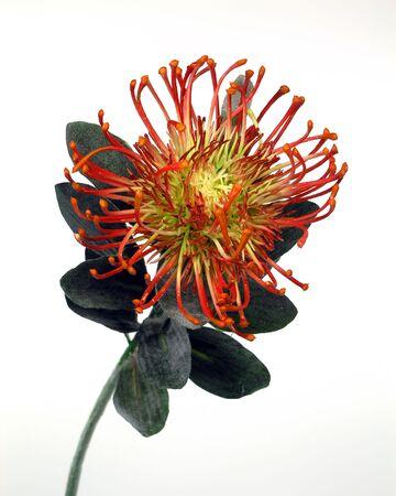 Rode Protea geïsoleerd.