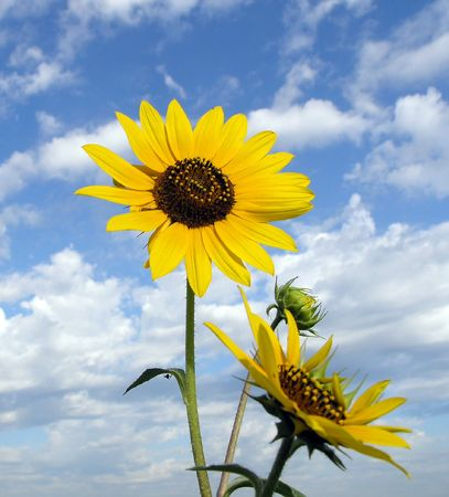 Sunflower clouse against partly cloudy blue sky Stock Photo - 241848