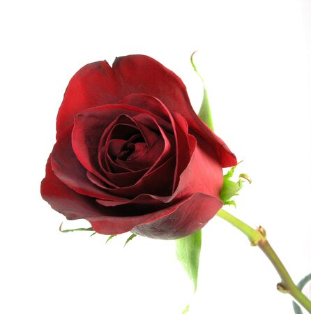 単一の赤いバラのクローズ アップ