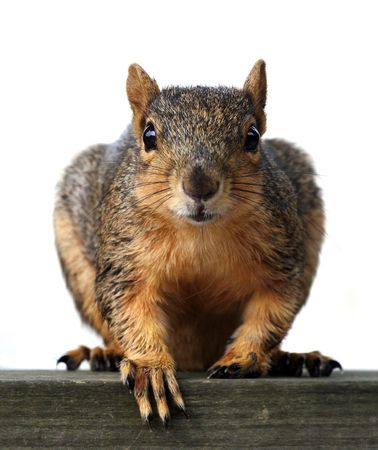 Large red squirrel closeup, appears to be begging photo