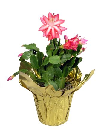 Potted pink christmas cactus over white photo