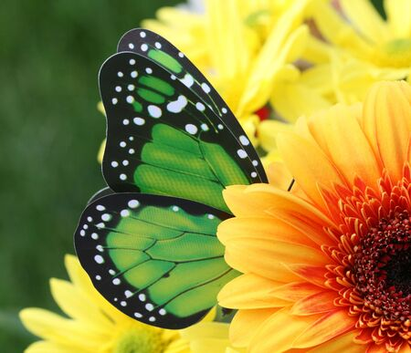 appears: Green Butterfly appears to be pollinating yellow Daisy Stock Photo