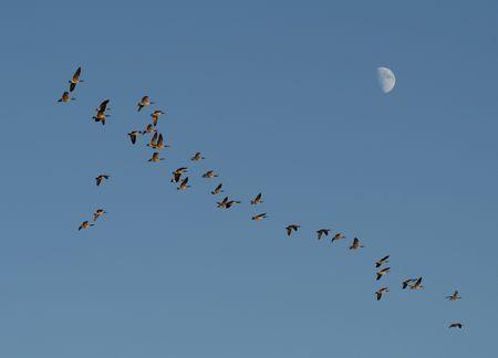 青空夏時間月過去の飛行のガチョウの大群