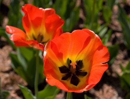 Red tulip close up