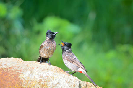 The red-vented bulbul is a member of the bulbul family of passerines. It is a resident breeder across the Indian subcontinent, including Sri Lanka