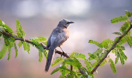 The large grey babbler is a member of the family Leiothrichidae found across India and far western Nepal. They are locally common in the scrub, open forest and gardenland.