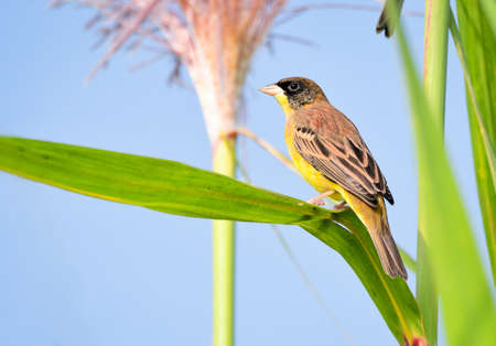 The black-headed bunting is a passerine bird in the bunting family Emberizidae. It breeds in south-east Europe east to Iran and migrates in winter mainly to India