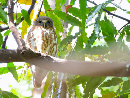 The brown hawk-owl, also known as the brown boobook, is an owl which is a resident breeder in south Asia from India, Sri Lanka, Bangladesh and Nepal east to western Indonesia and south China.